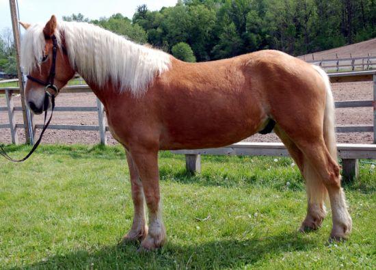 اسب هافلینگر